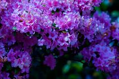 Spring at Hyde Hall (17 of 19).jpg (TomTam1) Tags: flowers england spring fujifilm essex hydehall nikon105mmf25 xt1