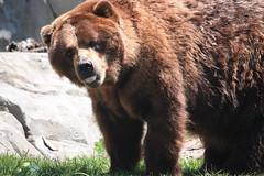 Grizzly (kate.zdenek) Tags: bears grizzly brookfieldzoo grizzlybear