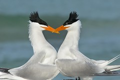 Heart Beaks (Melis J) Tags: bird florida royaltern terns matingdisplay