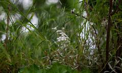 IMG_0437 (Nikan Likan) Tags: white paris flower green vintage lens 50mm prime blossom bokeh mount german manual depth xenon schneider retina | 2016 f19 fied dkl kreuznarch