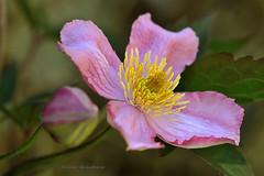 Enfin ........le printemps est arrivé dans mon jardin ! (Hélène Quintaine) Tags: france rose jaune jardin vert pistil printemps pétale feuille liane essonne étamine clématitedesmontagnes clématitemontanarubens