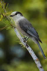 Grey Jay (Peter Stahl Photography) Tags: greyjay jay banffnationalpark spring