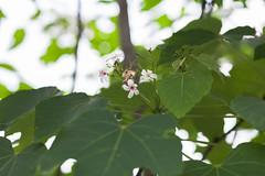 IMG_9641.jpg (Idiot frog) Tags: camping sky cloud white flower tree green leaves canon eos petals blossom seasonal hsinchu taiwan daytime shutterstock 5d2 5dmk2