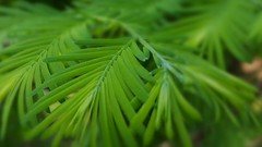 Redwood HMM (SaltyDogPhoto) Tags: macro tree green nature leaves pine photography spring focus dof samsung depthoffield pineneedles redwood needles hmm photooftheday macrophotography dawnredwood macromondays samsungs6 saltydogphoto