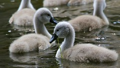 Lunching Cygnets (Doyleecart Photography) Tags: colour green bird water fun swan bokeh young cygnet palace moat mendip bishopspalacewells canon7dmkii doyleecart