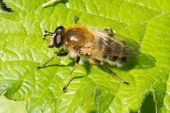Hoverfly- Criorhina asilica (linanjohn) Tags: uk macro nature wildlife insects lincolnshire syrphidae diptera hoverflies eristalinae criorhinaasilica xylotina walesbywoodlands