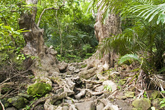 Iriomote: Guiding the entrance to Pinaisaara Falls () (Exper!ence it) Tags: trees nature forest walking jungle waterfalls okinawa canoeing iriomote yaeyama