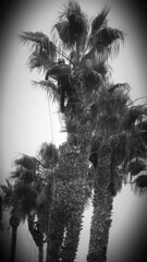 Up High (Rand Luv'n Life) Tags: our tree monochrome up point high view outdoor daily palm story challenge odc of trimmimng