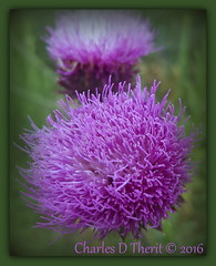 Thistle Flower (ctofcsco) Tags: colorado coloradosprings explore northamerica usa plant flower thistle texture furry closeup nature wildlife purple pink green macro samsung galaxy s6edge s6 edge plus cell phone cellphone picture pic photo explored asteraceae