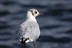 Black-headed gull (GaseousClay1) Tags: blackheadedgull chroicocephalusridibundus avian bird nature wildlife uptonwarren thechristophercadburywetlandreserve worcestershirewildlifetrust plumage habitat gavinavulgar httemge lachmwe gaviotareidora naurulokki mouetterieuse gabbianocomune kokmeeuw hettemke guincho skrattms