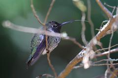 Hummingbirds in our Backyard - 2 (fksr) Tags: hummingbird bird sanrafael marincounty california tongue longtongue