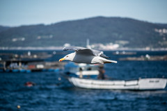 Seagull / Gaviota (qbf_ivanvarela) Tags: seagull gaviota ocean atlntico atlantic ocano water sea bird pjaro nature outdoors rippled sky d3300 nikon midair foreground mar