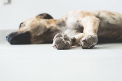 Nap time (neus_oliver) Tags: summer nap time siesta sleep dog animal hot pitbull sleepy dream dreaming high key light