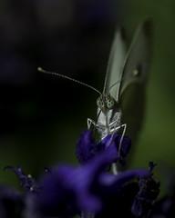Butterfly_SAF7573 (sara97) Tags: butterfly copyright2016saraannefinke flyinginsect insect nature outdoors photobysaraannefinke pollinator saintlouismissouri towergerovepark