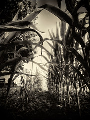 The Crop Field (Missy Jussy) Tags: crop field leaves labrugere soil ground plants light shadows mono monochrome sepia canon canonpowershotsx60 land farming farmland