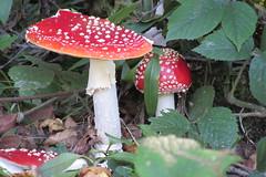 Muchomor Czerwony (tomroz) Tags: muchomor czerwony zrodliska jasiolki