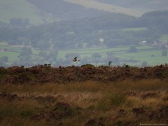 pallid harrier sighting peak district 9 sep 2016 3.30pm (Simon Dell Photography) Tags: harrier sighting 9 sept 2016 peak district moor longshaw supprise view suprise cliff edge derbyshire sheffield simon dell photography pallid sep 330pm circus macrourus