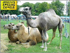 Awaiting their Turn .. (** Janets Photos **) Tags: uk hull publicparks shows events dromedary bactrian camels