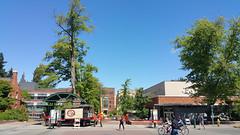Going Going  Pin Oak (Wolfram Burner) Tags: uo uoregon universityoforegon university oregon college campus school pin oak quercus palustris tree removal arborist