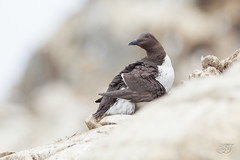 Guillemot de Trol (Tifaeris) Tags: alcids charadriiformes commonmurre guillemotdetrol uriaaalge bird oiseau
