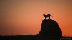Termite mound with a view (Sue MacCallum-Stewart) Tags: cheetah kenya maasaimara africa termite mound sunrise earlymorning