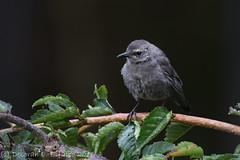 Youngsters (dbifulco) Tags: grca birds cherrytree graycatbird juvenile nature newjersey nikkor300f4pfed wildlife yard