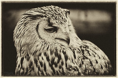 Eagle Owl (tomsyrk) Tags: eagleowl owl bubobubo bbsibiricus vogel eule bird animal tier uhu sibirischer schwarzweiss sw blackandwhite blackwhite blacknwhite blancoynegro noiretblanc nb bw mono monochrome monochrom sepia alt raubtier