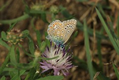 Common Blue Butterfly (andyt1701) Tags: jersey butterfly
