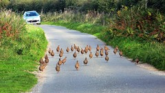 A North Norfolk traffic jam. (Les Fisher) Tags: partridges northnorfolk norfolk ruralscene