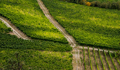 Crossroads (Harry2010) Tags: grapes vineyards rows green okanagan naramata bc canada