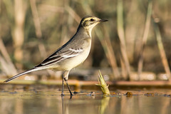 citrine wagtail (carltaylor) Tags: bird birds birding birdwatching cyprus canon canon70d nature ngc natural wildlife wild citrinewagtail limassol akrotirisaltlake