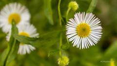 White flower 2 (Milen Mladenov) Tags: 2016 d3200 nikon october flowers macro macrofilter outdoor outside stamens white yellow