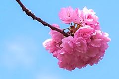 Explored : 2015.04.06 Sakura bouquet (eriko_jpn) Tags: explore pinkflower cherryblossom sakura