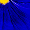 Blue pansy (Zed.Cat) Tags: blue flower detail up yellow close pansy