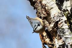 Nuthatch Eating Insects Off A Tree In Montana .. (TopSausageLobber) Tags: autumn trees houses winter light sea wild summer arizona england snow mountains castle mill love dogs water birds animals sex wales america turkey dark nude death coast utah spring sand nikon women wolf montana stream heart crash bears tiger nevada jets lakes injury glen idaho missoula fairy rivers soul passion lions hanging rockymountains wyoming fighters snowdonia boathouse bison nuthatch wolves waterwheel osprey birdsofprey faries redsquirrels grizzlybear anglesey yorshireterriers tourdebritain slatemill longhornedsheepusa