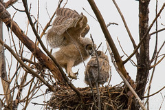 Great Horned Owl owlet returns to the nest