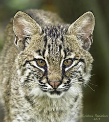 Lil Hunter (Andrew's Wildlife) Tags: bobcat specanimal specanimalphotooftheday