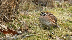 Northern Bobwhite, Home, 04/20/15 (TonyM1956) Tags: tonymitchell duluth stlouiscounty minnesota nature birds quails northernbobwhite sonyphotographing sonyalphadslr