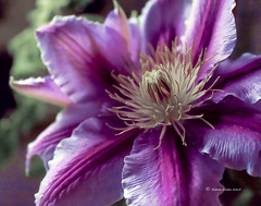 Dr Ruppel Clematis (DigiDi) Tags: flower clematis languageofflowers drruppel digidi citrit itsallaboutflowers