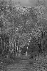 Trail through the birch stand, Lynde Shores, Whitby, Ontario, April 23/15 (KWaterhouse) Tags: bw nature backandwhite nikond3200 lyndeshores monochrone
