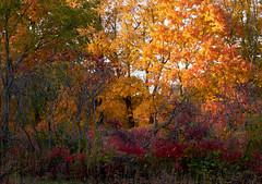 Autumn Blaze (ggppix) Tags: autumn red orange color tree green fall wisconsin maple midwest peak sumac foliage madison edge variegated boundary effect russet tawny staghorn savanna understory captureonepro danecounty rhustyphina owenconservationpark fujifilmxpro1 garyglenprice fujinonxf18135f3556rlmoiswr