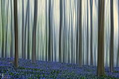 Sprookjesbos (DigiGerard2011) Tags: abstract nature forest landscape belgium outdoor dream belgi natuur bos halle droom landschap hallerbos hyacint