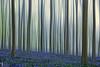 Sprookjesbos (DigiGerard2011) Tags: abstract nature forest landscape belgium outdoor dream belgië natuur bos halle droom landschap hallerbos hyacint