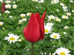 IMG_6121 (Gkmen Kmrt) Tags: tulips tulip 2014 emirgan laleler