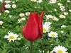 IMG_6121 (Gökmen Kımırtı) Tags: tulips tulip 2014 emirgan laleler