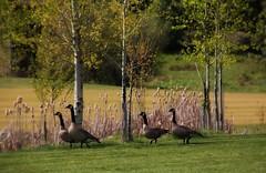 Wild Geese Two By Two (Satin Ribbon) Tags: geese wildlife idaho sandpoint theidahoclub walkingtwobytwo