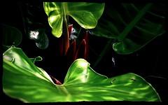 jurassic (milomingo) Tags: light shadow red plant black green nature contrast garden botanical leaf perspective hidden jungle tropical spike organic lush horticulture photoart jurassic moisture plantlife cmwd cmwdgreen