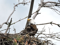 eagle10 (GWP Photography) Tags: bird animal nikon nest eagle outdoor pennsylvania adler baldeagle pa coolpix eaglesnest aquila orel guia aigle waynecounty guila  orze milanville rn nestingpair     upperdelawareriver  waynecountypa coolpixp600