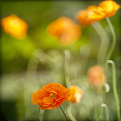 dancing poppies (1crzqbn away) Tags: flowers light orange sunlight motion color green nature fleur sunshine garden outside dof dancing wind bokeh poppies happysliderssunday