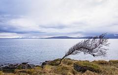 Leaning (Torbjrn Tiller) Tags: tree berg windy leaning dyry dyrya
